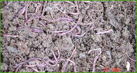 Lombrico o verme di terra una delle esche più utilizzate, e più redditizie.