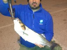 Spigola pescata sul fiume Valentinis Monfalcone (go)