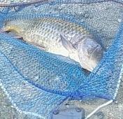 Carpa pescata a Elsa (Siena)