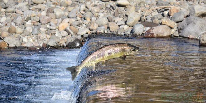 Il destino del salmone: allevamenti e soluzioni sostenibili per il benessere di pesce e consumatori