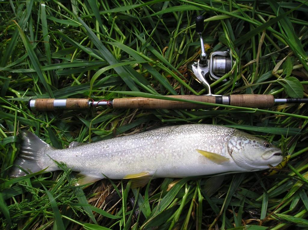 Una trota marmorate pescata nell'Adige.